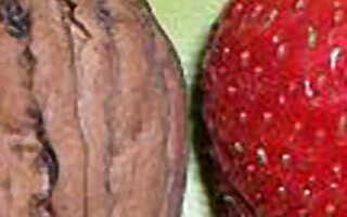 Клубника Соловушка: описание и характеристика сорта, выращивание и уход, фото