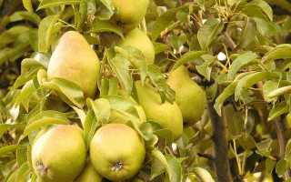 Груша Стрийская: ботанические характеристики и описание сорта, преимущества и недостатки, посадка и уход, фото