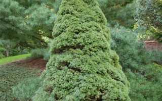 Ель Сандерс Блю (канадская голубая Sanders Blue): описание, высота взрослого дерева, фото