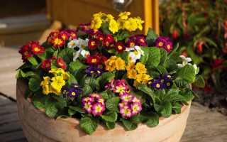 Примула махровая Розанна абрикосовая: описание сорта, выращивание из семян в домашних условиях
