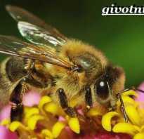 Пчела — это насекомое или нет: описание и характеристика, размножение и продолжительность жизни