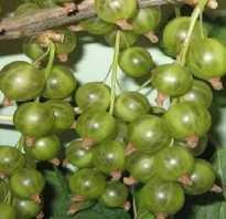 Смородина зеленоплодная сорта Снежная Королева: внешний вид и описание, фото