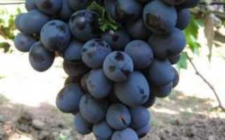 Виноград Ришелье: описание сорта, фото, выращивание и уход