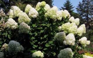Гортензия Саржента: посадка и уход за цветком, фото, описание растения, зимостойкость, укрытие на зиму