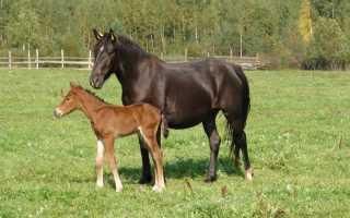 Башкирская лошадь: описание и содержание породы, достоинства и недостатки, особенности ухода, фото