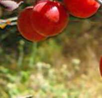 Слива Генеральская: описание и характеристика сорта, особенности выращивания и ухода, фото