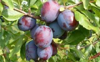 Слива Заречная ранняя: описание сорта, выращивание, отзывы с фото