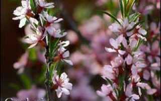 Степной миндаль: низкий бобовник, дикий миндаль, плоды, фото и описание