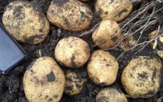 Картофель Аризона: описание, характеристика и вкусовые качества сорта, выращивание и уход, фото