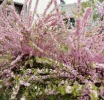 Миндаль Розовая пена: описание, съедобен ли, посадка и уход в открытом грунте