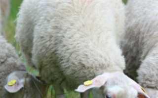 Доение овец: сколько молока даёт овца в сутки, как доят овец, что делают из овечьего молока