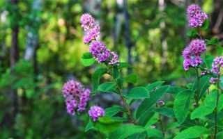 Спирея иволистная белая, розовая, альба в ландшафтном дизайне, фото и описание кустарника, посадка и уход