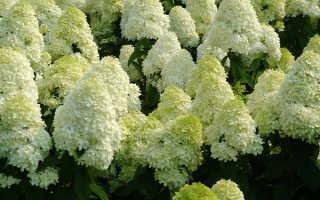 Гортензия метельчатая Селекшн (Hydrangea paniculata Selection): фото и описание сорта