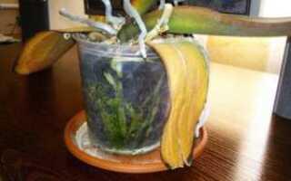 Почему у фаленопсиса желтеют листья: что при этом делать и как лечить цветок, особенности ухода