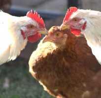 Почему куры выщипывают перья друг у друга и едят их: причины, методы борьбы